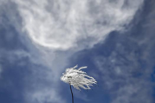 Clematis and Clouds by Steven Schwartzman
