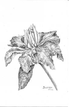 Clematis by Brenda Hill