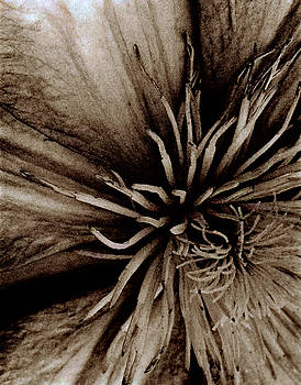 Clematis by Christine Wagner