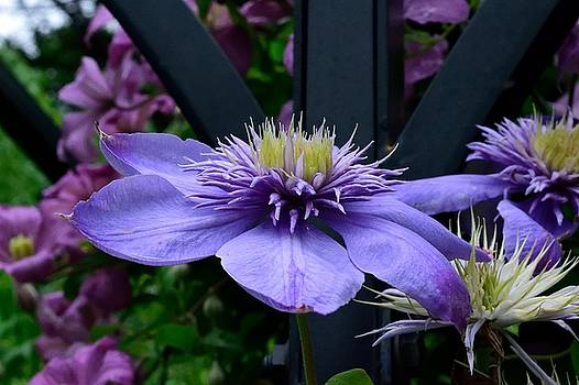 Clematis Climber by Terri Waselchuk