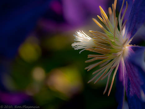 Clematis Fantasy by Ron Plasencia