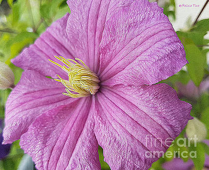 Clematis by Felicia Tica
