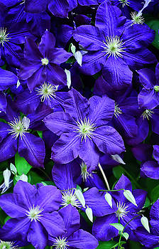 Clematis Five by Michael Putnam