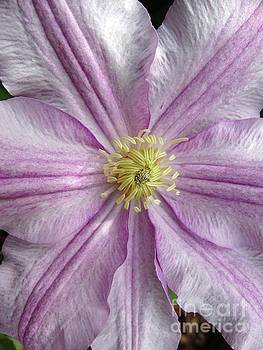 Clematis Flower by Rebecca Overton