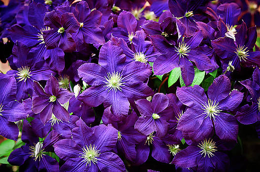 Clematis Four by Michael Putnam