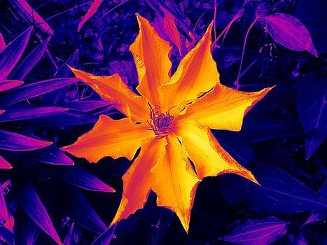 Clematis Gold by Art Speakman