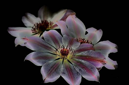 Clematis by Helen Carson