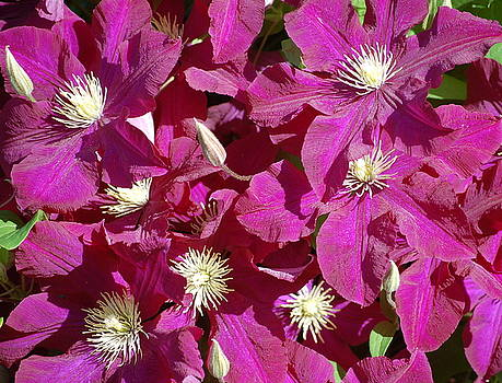 Clematis in Spring by Fred Zilch