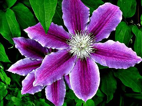 Clematis by Julie Grace
