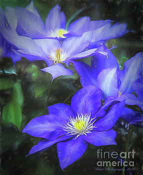 Clematis by Linda Blair