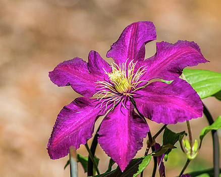 Clematis by Lynne Jenkins