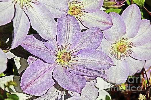 Clematis Purple tinged in white by David Frederick