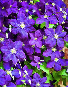Clematis Three by Michael Putnam