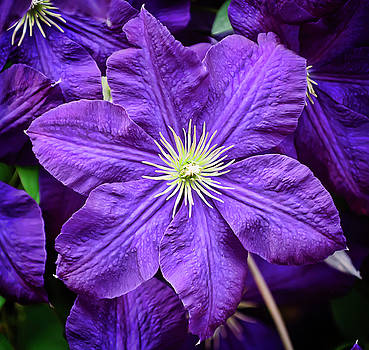 Clematis Two by Michael Putnam