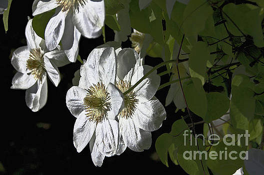 Clematis White by David Frederick