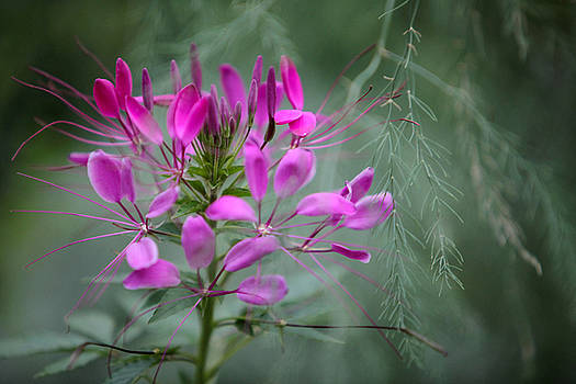 Cleome by Jane Melgaard