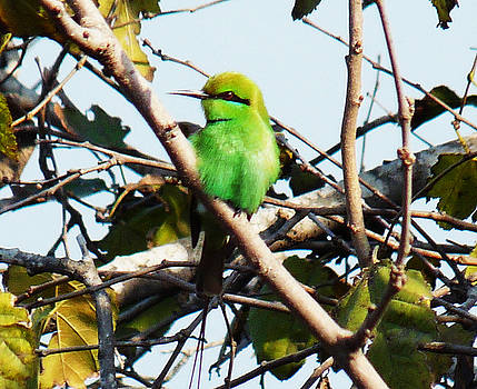 Cleopatra The Green Bee Eater in Egypt by Aisha Abdelhamid