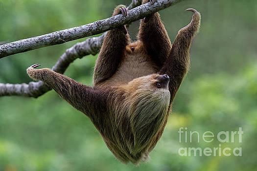 Heiko Koehrer-Wagner - Climbing Three-toed Sloth