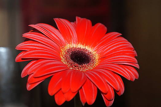Close Of Daisy by Virginia Flye