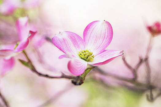 Close Up Dogwood Tree Bloom in Great Smoky Mountains by Carol Mellema