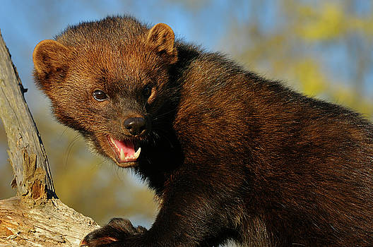 Reimar Gaertner - Close up face of North American Marten looking back showing teet