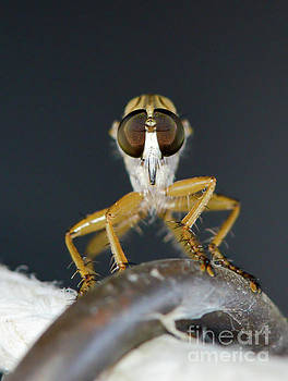 Close up macro of a Robber Fly - Efferia albibarbis by Michael Moriarty