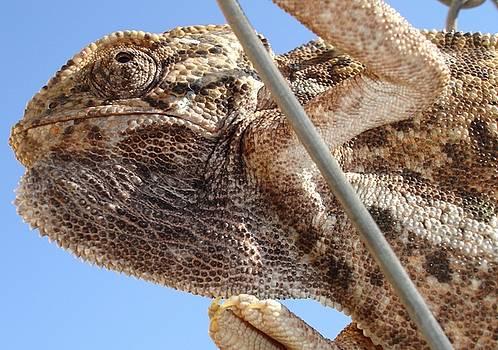 Tracey Harrington-Simpson - Close Up Of A Climbing Chameleon
