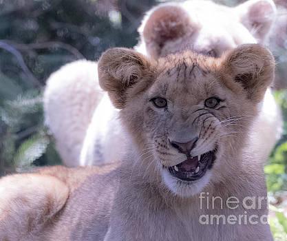 Close Up of a Lion Cub by CJ Park