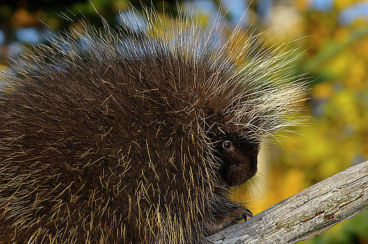Reimar Gaertner - Close up of a Porcupine on a dead tree limb with yellow forest i