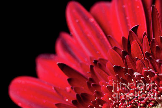 Close up of a red Gerbera daisy flower by Edward Fielding