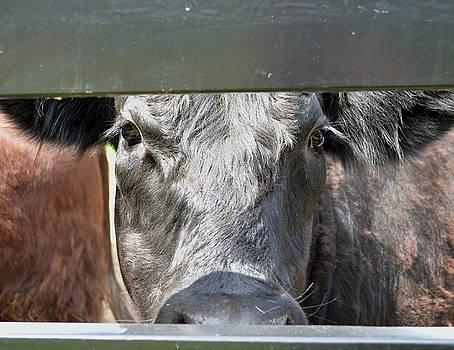 Close Up of a Steer by Samantha Boehnke