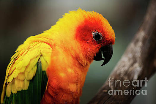 Close up of a Sun Conure parrot. by Rob D