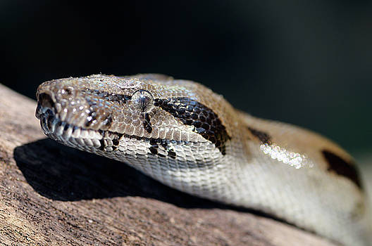 Reimar Gaertner - Close up of a wild boa constrictor waiting for prey on a log in