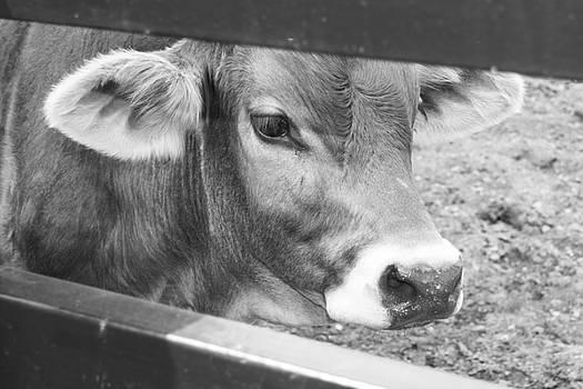 Close Up of Bull Calf Black and White by Samantha Boehnke