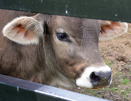 Close Up of Bull Calf by Samantha Boehnke