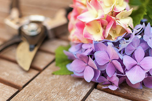 Close-up of cut Hydrangeas on weathered table by Bradley Hebdon
