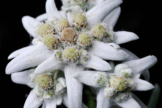 Reimar Gaertner - Close up of Edelweiss flowers and wooly leaves