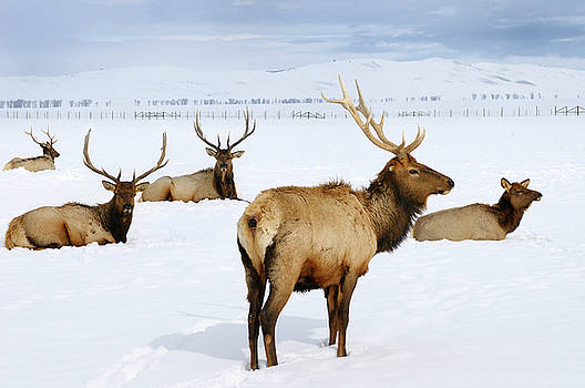 Reimar Gaertner - Close up of four bull Elk and a cow wintering at the National El
