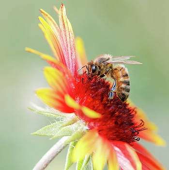 Close Up of Honey Bee on Gallardia against Blurred Soft Green Ba by Eneida Gastal-Keith