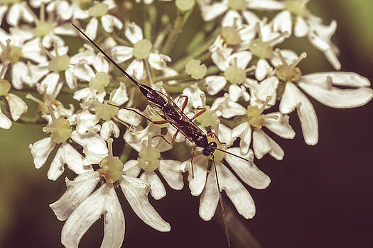 Jacek Wojnarowski - Close up of Insect on Cow Parsley B