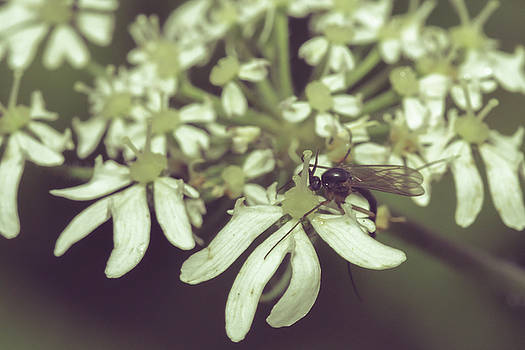 Jacek Wojnarowski - Close up of Insect on Cow Parsley C