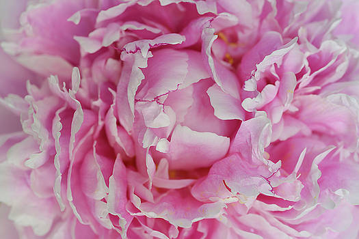 Reimar Gaertner - Close up of pink petals of a Peony flower head