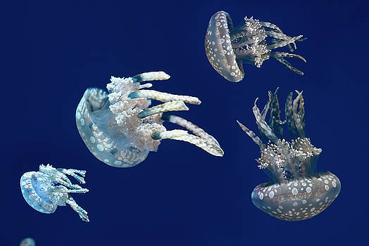 Reimar Gaertner - Close up of Spotted Jellies or Papuan jellyfish against a blue b