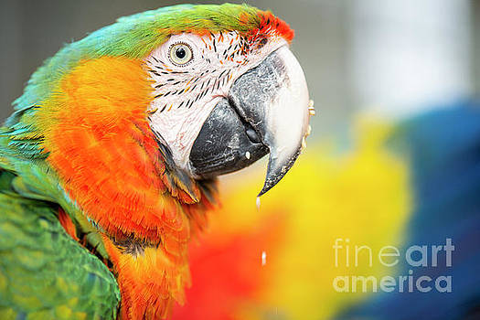 Close up of the macaw bird. by Rob D
