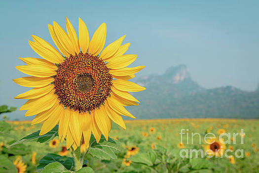 Close-up on sunflower. by Tosporn Preede