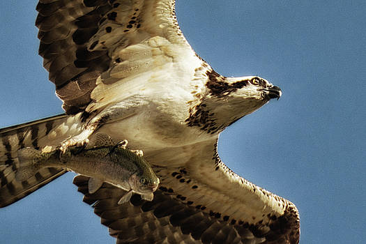 Close Up Osprey With Breakfast by Cora Ahearn