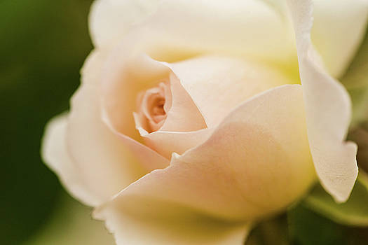 Close Up Pink Blush Rose Flower by Carol Mellema