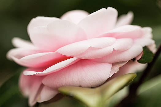Close Up Pink Rose With Leaf  by Carol Mellema