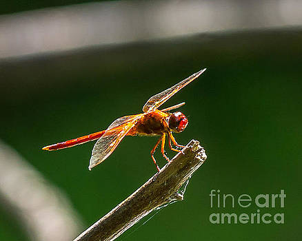 Stephen Whalen - Close Up Red Dragonfly