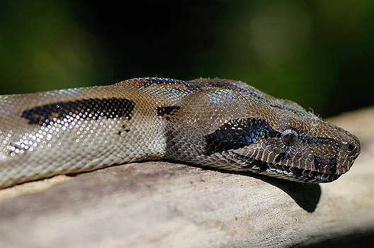Reimar Gaertner - Close up view of the head of a boa constrictor in Costa Rica
